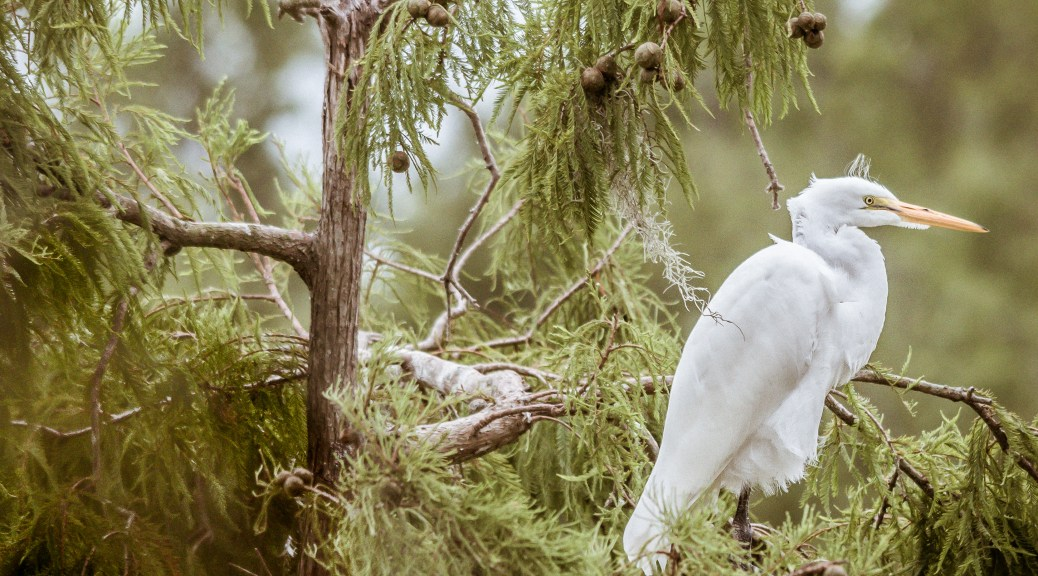 Great Egret Resting In A Tree - Click To Enlarge