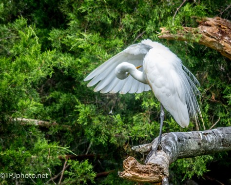 Preening Great Egret - Click To Enlarge