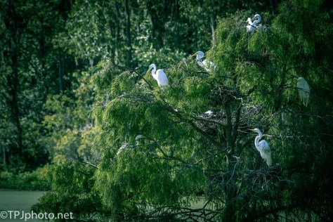 Tree Of Egrets - Click To Enlarge