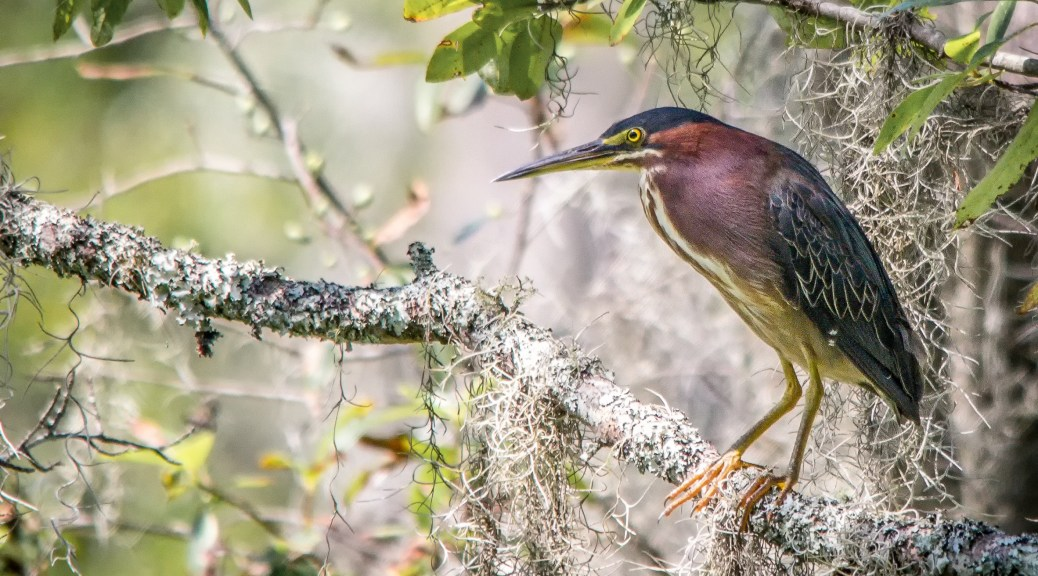 Green Heron In Spanish Moss - Click To Enlarge