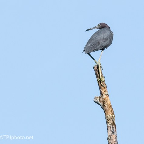Perched Little Blue Heron - Click To Enlarge