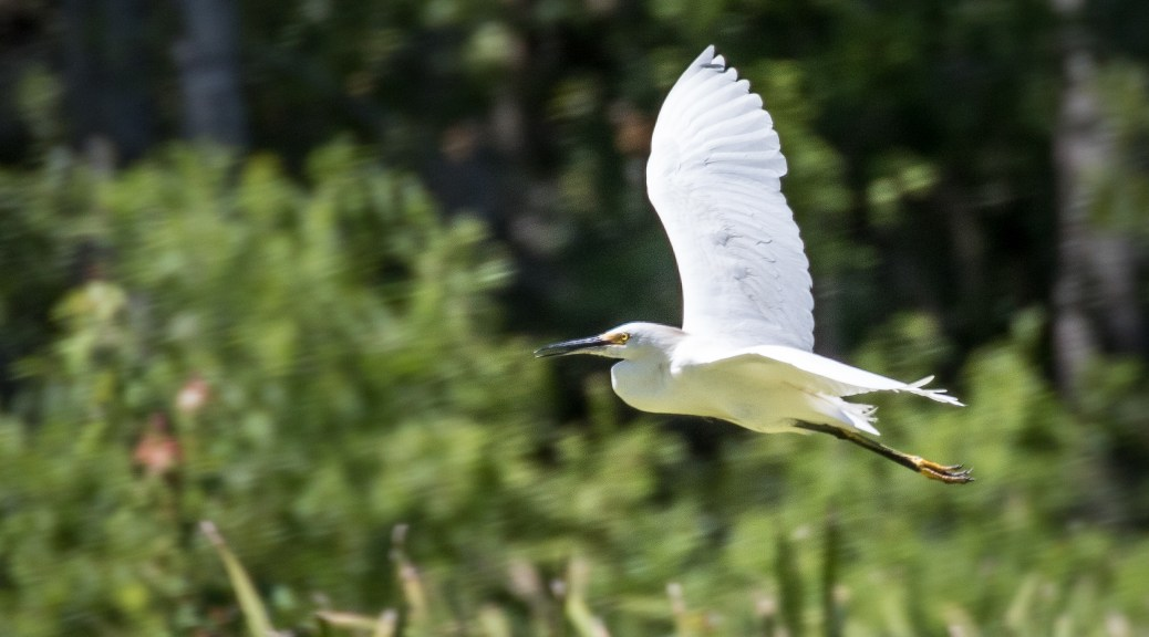 Snowy Egret Fly By - Click To Enlarge