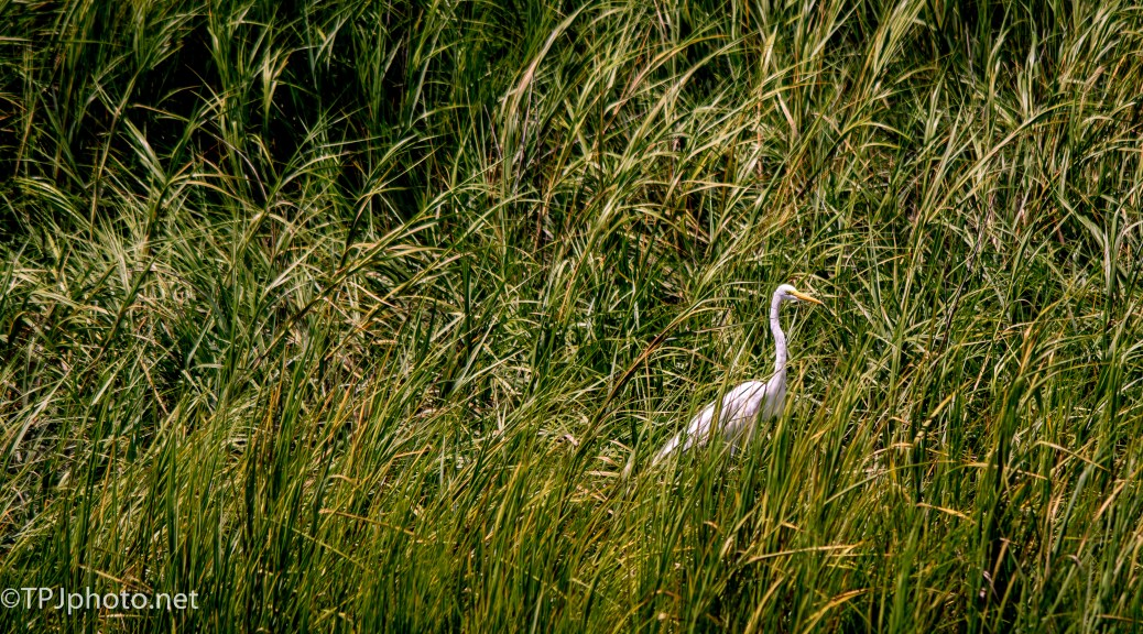 Great Egret Hiding - Click To Enlarge