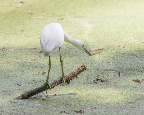 Great Egret In A Swamp - Click To Enlarge