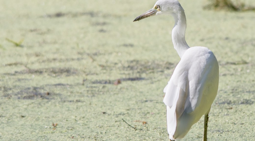 Young Snowy Egret - Click To Enlarge