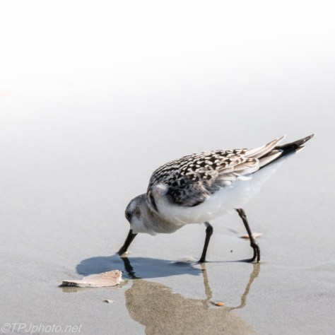 Least Sandpiper - Click To Enlarge