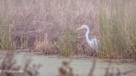 Early Egret - Click To Enlarge