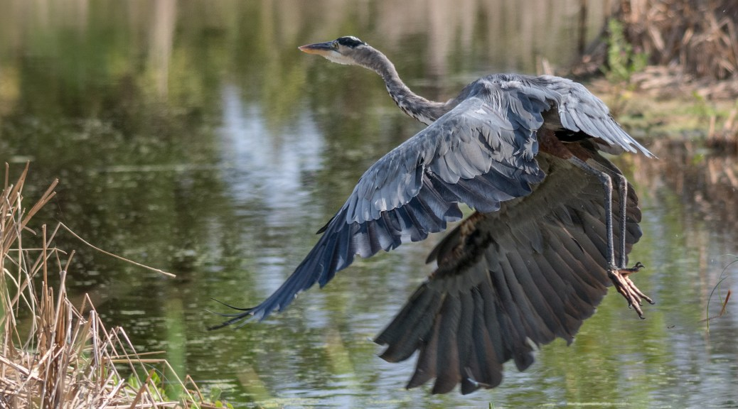 Great Blue Making An Escape - Click To Enlarge
