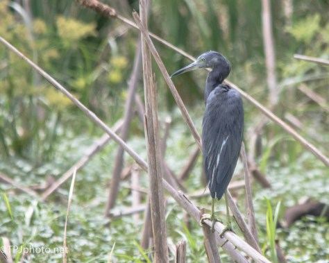Little Blue In The Cane - Click To Enlarge