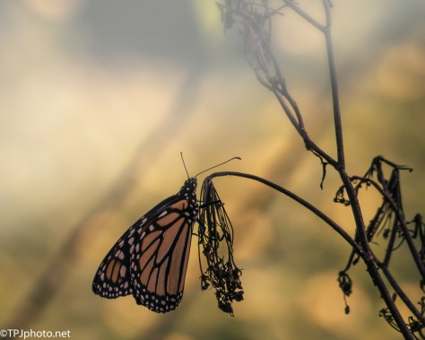 Monarch Butterfly - Click To Enlarge