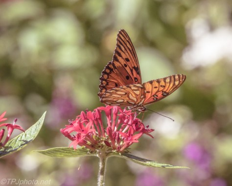 Gulf Fritillary - Click To Enlarge