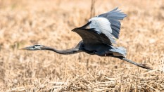 Great Blue Heron Close By - Click To Enlarge