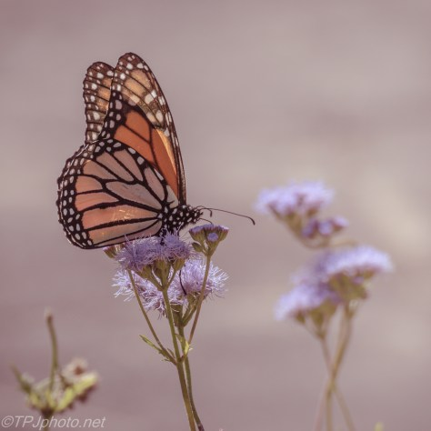 Monarch In Soft Light - Click To Enlarge
