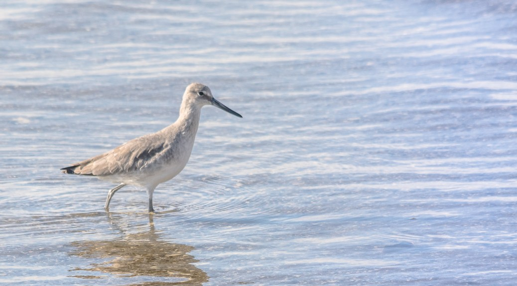 Willet In The Shallows - Click To Enlarge