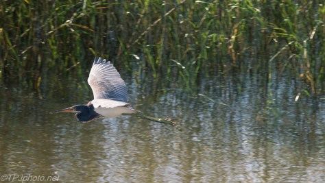 Tricolored Heron Fly By - Click To Enlarge