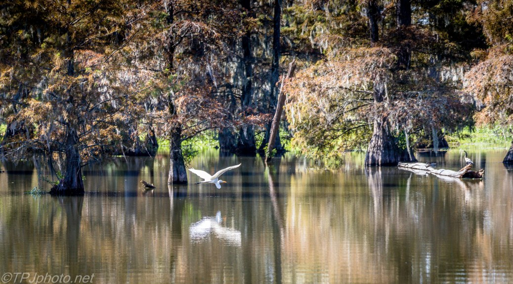 Tupelo Swamp Egret - Click To Enlarge