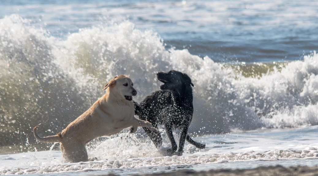 Dogs Play On The Beach - Click To Enlarge