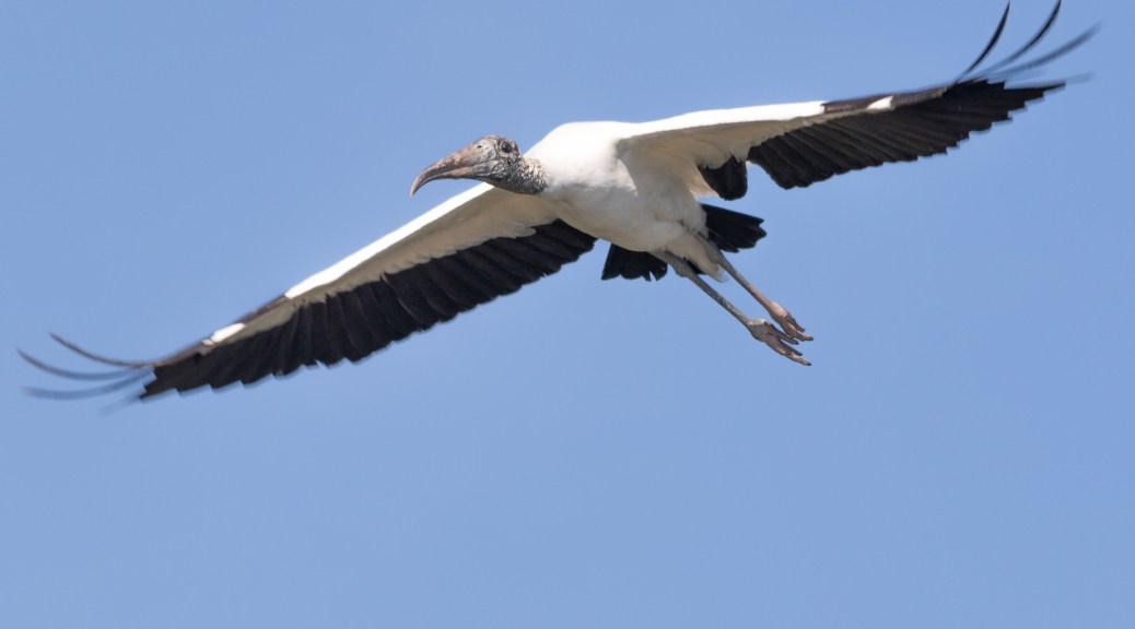 Wood Stork Low Fly By - Click To Enlarge