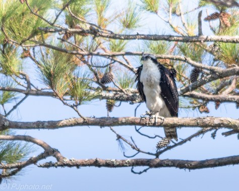 Perched Osprey - Click To Enlarge