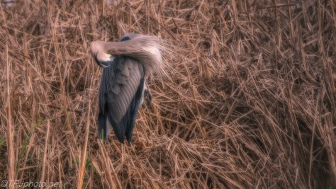 Great Blue Heron In Cane - Click To Enlarge