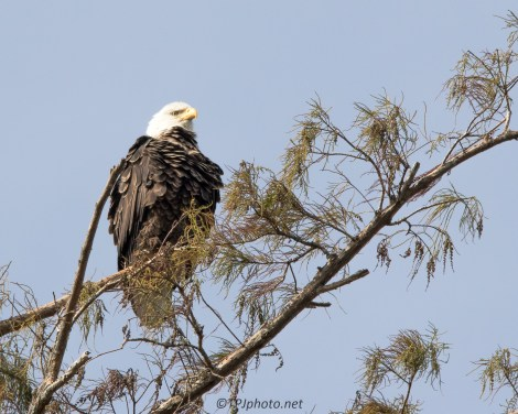 Bald Eagle - Click To Enlarge