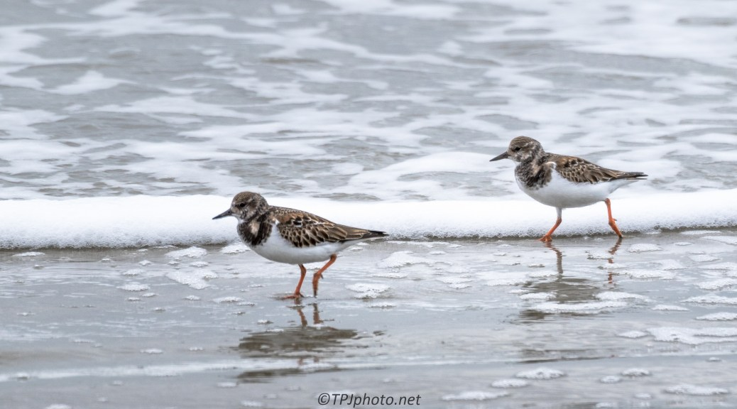 Ruddy Turnstone - Click To Enlarge