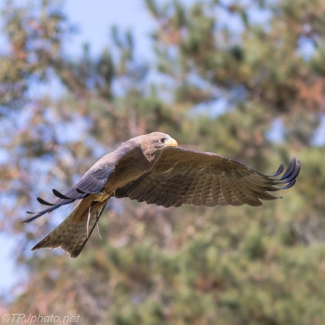 Yellow Billed Kite Feeding - Click To Enlarge