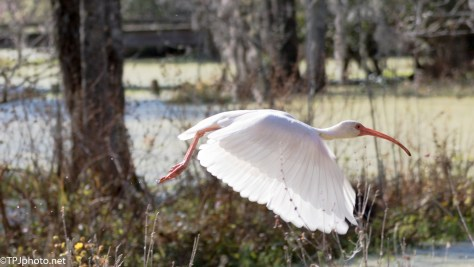Quick In Flight White Ibis - Click To Enlarge