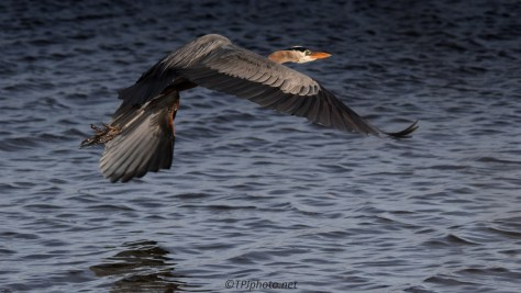 Great Blue Heron Over Lake - Click To Enlarge