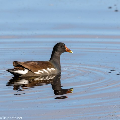 Common Gallinule - Click To Enlarge