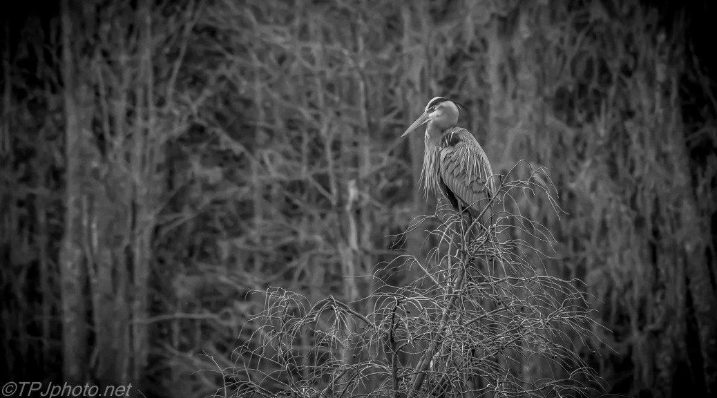 Black And White Waiting Heron - Click To Enlarge