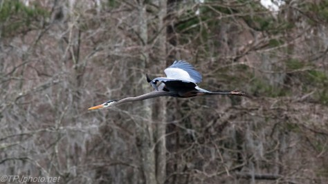 Great Blue Heron At Full Speed - Click To Enlarge