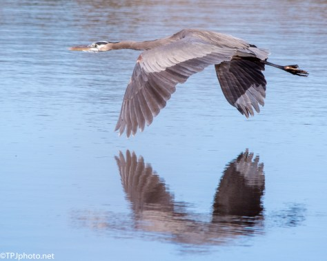 Heron Flying Low In A Rookery - Click To Enlarge