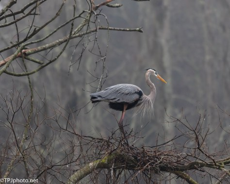 Heron On A Dark Wet Morning - Click To Enlarge
