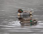 Green-winged Teals - Click To Enlarge