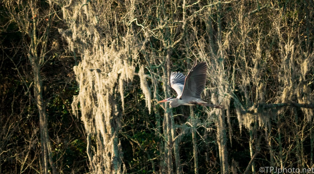 Great Blue Heron Early Morning Swamp - Click To Enlarge