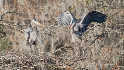 Male Heron Returning With Sticks - Click To Enlarge