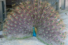 Peacock, Blinding Color - Click To Enlarge
