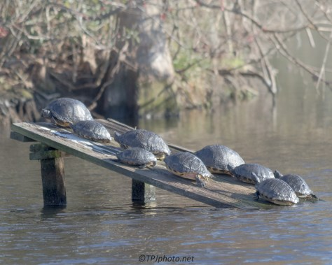 Yellow-bellied Sliders - Click To Enlarge