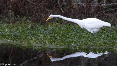 Great Egret Reflections - Click To Enlarge