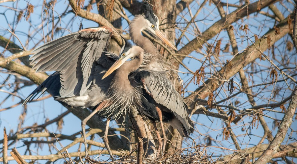 Heron Pair On The Nest - Click To Enlarge
