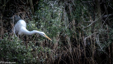 Great Egret Hunting In The Brush - Click To Enlarge