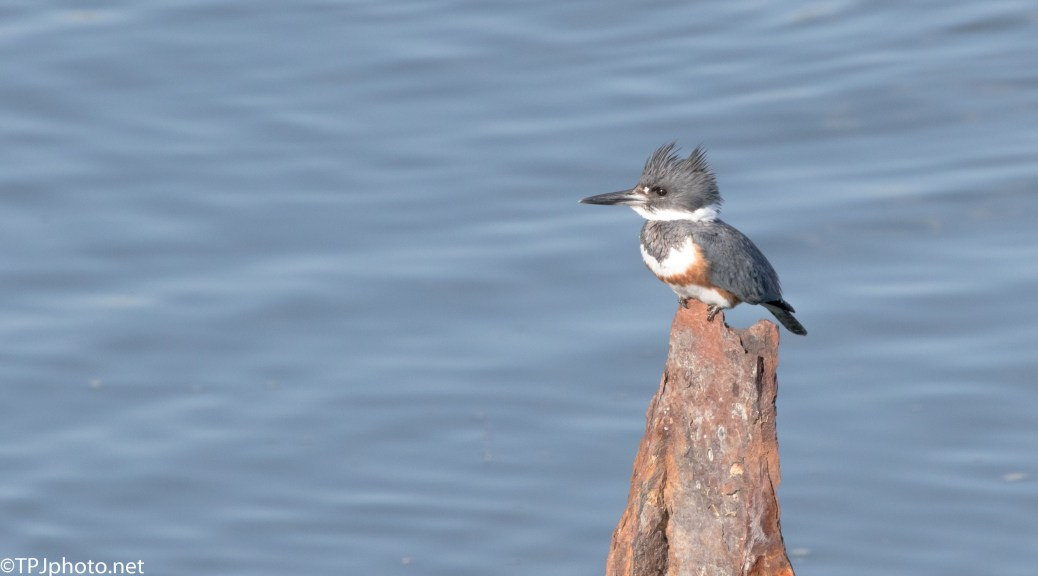 Kingfisher Posing - Click To Enlarge