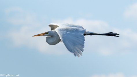 Bright Egret Fly By - Click To Enlarge