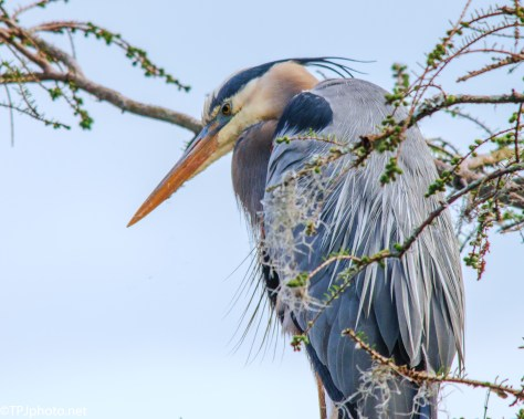 Close Up, Great Blue - Click To Enlarge