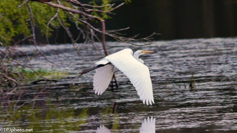 Egret Wing Reflections - Click To Enlarge