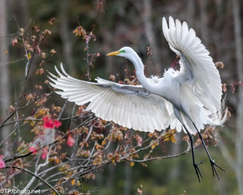 Egret Coming In - Click To Enlarge