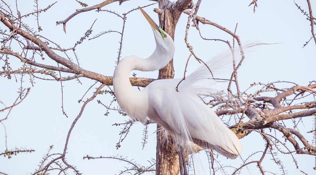 Look At Me, Great Egret - Click To Enlarge