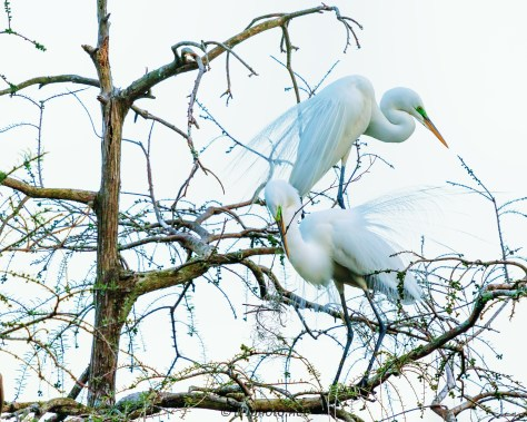 Starting Construction - Great Egrets