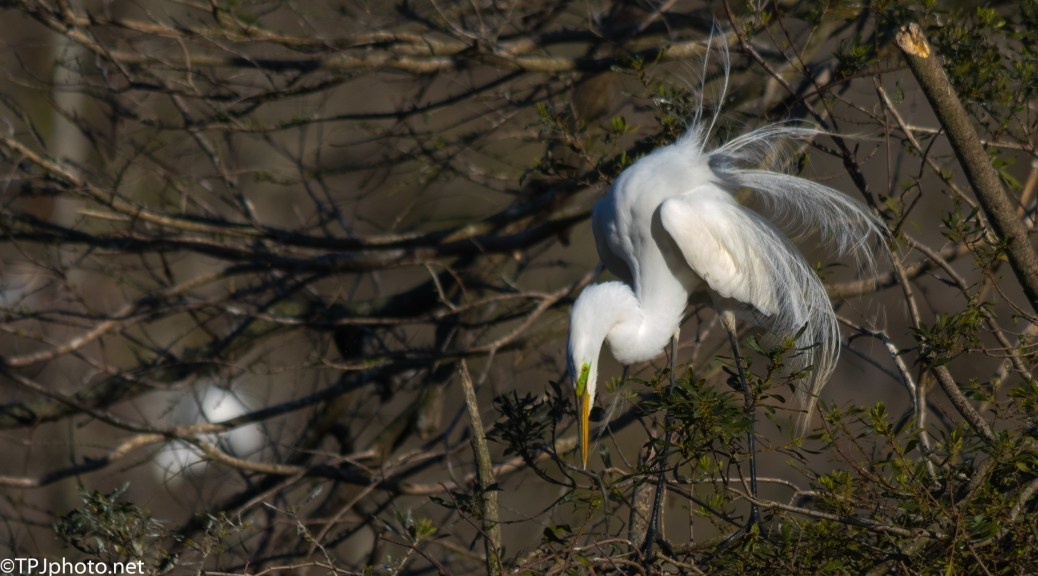 Dancing Fool, Great Egret - Click To Enlarge